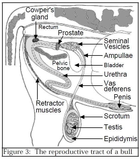 labelled diagram of the penis