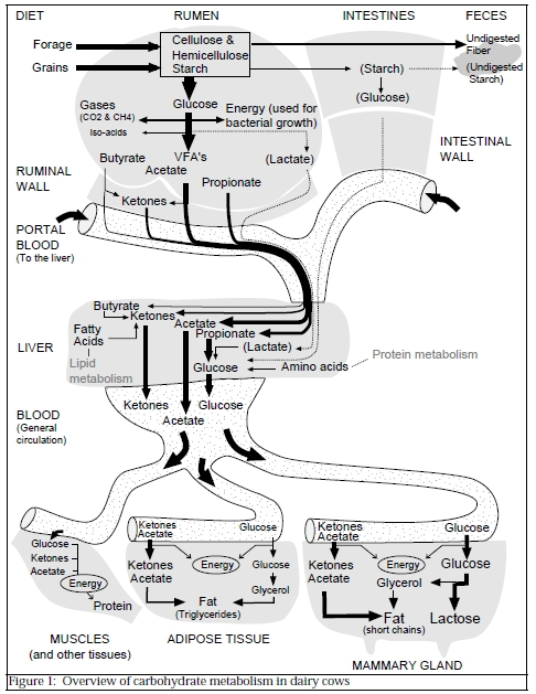 propionate fatty acid